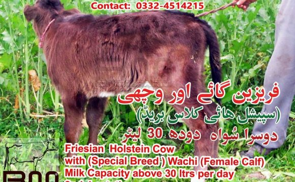Friesian Holstein Cow with
