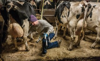 Dan Osofsky prepares a cow's udder for the milking device (in his hand). He is cleaning her teats with a solution containing iodine, a disinfectant.