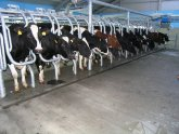 Dairy Cattle milk Production