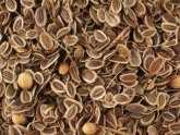Fenugreek to help milk production