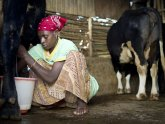 Increasing milk production
