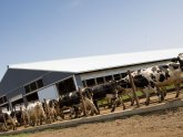 Increasing milk production in dairy cows
