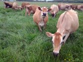 Jersey cows milk production