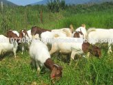 Nubian goats milk production