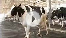 best hf cows for dairy farming 74 litr milk per day cow