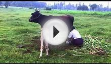 Cow Milk Production - How Cows Make Milk - Real Clips