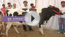 Karan Frie Cow - Popular Breed For High Milk production