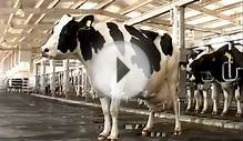 Super Star Cow @ UAE - one day it gives 100 liter Milk