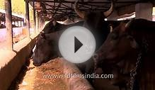 The cow farms and dairies that provide milk to 1.20